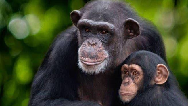 Vita da Scimpanzè